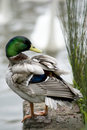 Male mallard duck standing on the edge of a lake Royalty Free Stock Photography
