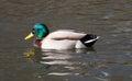 Male mallard duck sunning himself Stock Photo