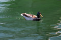 Male mallard duck swimming in alamitos bay in long beach california usa Stock Photo