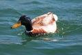 Male mallard duck swimming in alamitos bay in long beach california usa Stock Photos