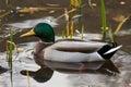 Male mallard duck in water in sweden Royalty Free Stock Photography