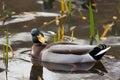 Male mallard duck in water in sweden Stock Photo