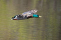 Male mallard in flight and ready to land Royalty Free Stock Image