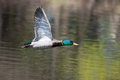 Male mallard in flight and ready to land Stock Image