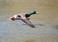 Male mallard in flight and ready to land Royalty Free Stock Photos
