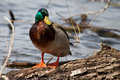 Male mallard standing on a downed tree Royalty Free Stock Photography