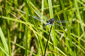 Male martha s pennant dragonfly on tip of reed a beautiful dark blue with black patches the back wings one which is damaged with Royalty Free Stock Photo