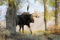 MAle Moose in Grand Teton National Park Stock Photo