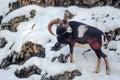 Male mouflon on a snowy slope Royalty Free Stock Photo