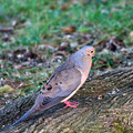 Male mourning dove Stock Photo