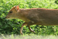 A male Muntjac Deer Muntiacus reesvei running at a very fast speed with its front legs in the air. Royalty Free Stock Photo