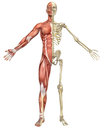 Male Muscular Skeleton Split Front View Royalty Free Stock Photo