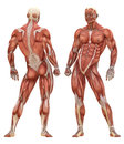Male muscular system anatomy the consists of skeletal smooth and cardiac muscles the is the series of muscles throughout the Royalty Free Stock Photos