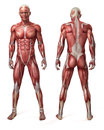 The male muscular system Royalty Free Stock Photo