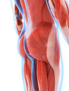 The male musculature Royalty Free Stock Photo
