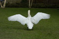 Male Mute swan stretching his wings Royalty Free Stock Photo