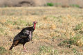 Male; nature; bird; turkey; wildlife; tail; tom; meleagris; wild Royalty Free Stock Photo
