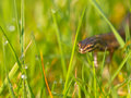 Male newt sideview Royalty Free Stock Photography