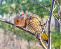 Male, Norther Flicker Stock Images