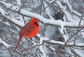 Male Northern Cardinal Stock Images
