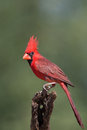 Male northern cardinal adult on a perch Royalty Free Stock Photography
