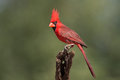 Male northern cardinal adult on a perch Stock Photography