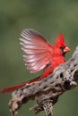 Male northern cardinal adult on a perch Stock Photo