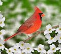 Male Northern Cardinal (Cardinalis cardinalis) Royalty Free Stock Images