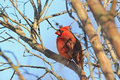 Male northern cardinal cardinalis cardinalis bright red perched in tree with feathers fluffed for insulation from cold on sunny Royalty Free Stock Photo