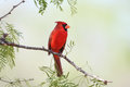 Male northern cardinal cardinalis cardinalis texas Stock Images