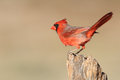 Male northern cardinal cardinalis cardinalis texas Royalty Free Stock Photography