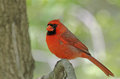 Male northern cardinal cardinalis cardinalis on a tree branch Stock Photos