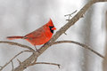 Male northern cardinal in heavy snow Stock Photography