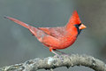 Male northern cardinal perched on a branch Royalty Free Stock Photos