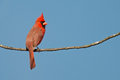 Male northern cardinal perched isolated branch Royalty Free Stock Photo