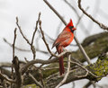 Male northern cardinal on perched in a tree limb Royalty Free Stock Image