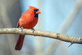 Male northern cardinal sitting on a branch Stock Images