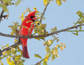 Male northern cardinal in a tree early spring Stock Photos