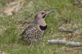 Male northern flicker colaptes auratus foraging on the ground ontario canada Royalty Free Stock Photo