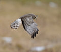 Male northern harrier in flight hunting for voles in a grass field Stock Images