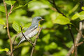 Male northern parula americana Stock Photos