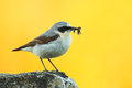 Male northern wheatear oenanthe oenanthe with worms Royalty Free Stock Photo