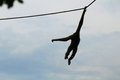 Male northern white cheeked gibbon monkey hanging rope south florida zoo Stock Photos