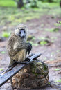 Male olive baboon papio anubis is sits with wet wool after rain in maasai mara national park kenya Stock Images