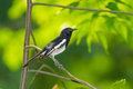 Male oriental magpie robin bird is stretching his leg in nature Stock Photography