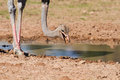 Male ostrich looking for food close to a water hole dry earth in Stock Images