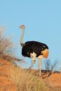 Male ostrich struthio camelus on a red sand dune kalahari desert south africa Royalty Free Stock Image