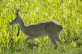 Male Pampas Deer in Grass Royalty Free Stock Photo