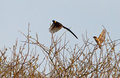 A male Paradise Whydah in flight Stock Photos