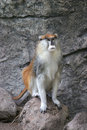 Male Patas monkey Stock Image